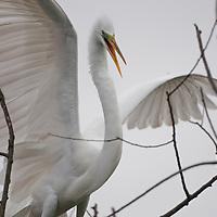 Great Egret (Ardea alba), Orlando, Florida. Photo by William Drumm 2013.