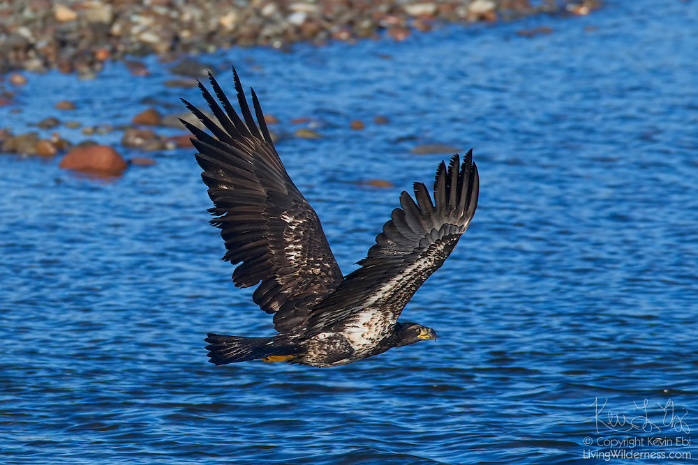 A juvenile bald eagle (Haliaeetus leucocephalus) flies over the Squamish River near the Brackendale Eagles Provincial Park in Brackendale, British Columbia, Canada. Brackendale is home to one of the largest wintering populations of bald eagles in North America.