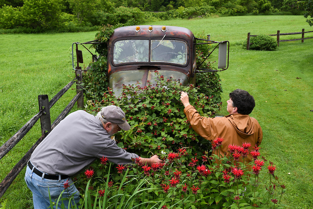 """David and Carla Hodgdon pick black raspberries growing from a 1945 International truck outside their Bethel, Vt. home Tuesday, July 8, 2015. The berries started to grow up through the truck's frame after Tropical Storm Irene flooded the property in 2011. """"If anybody wanted to buy the truck they're going to have to bring in a crane and lift it straight up to not disturb my bushes,"""" said Carla Hodgdon. (Valley News - James M. Patterson)<br /> Copyright © Valley News. May not be reprinted or used online without permission. Send requests to permission@vnews.com."""