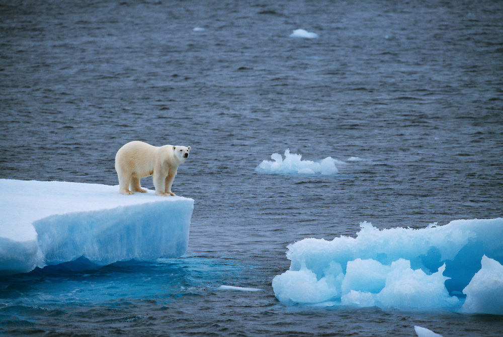 """Polar Bear, Ursus maritimus, North East Greenland National Park, Greenland<br /> Attribution-NonCommercial-NoDerivs 3.0 (http://creativecommons.org/licenses/by-nc-nd/3.0) with the exception """"This photo may be used only for non-profit purposes and marketing of Greenlandic tourist products (no merchandise)"""""""