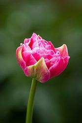 Tulipa 'Aveyron' - or could be 'Amazing Grace'