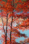 Sugar maple tree on Day's Lake<br /> Dorset<br /> Ontario<br /> Canada