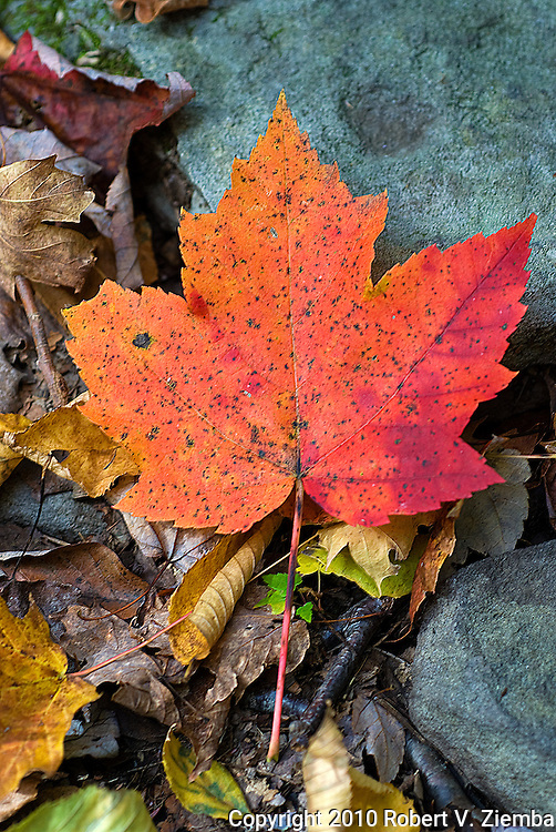 """""""October Trail""""-A red maple leaf found on a trail in the catskill mountains in autumn."""