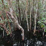 Flooded woodlands known as Ganua motleyana from the Sekonyer river along the boardwalk going into Camp Leakey. Tanjung Puting National Park. Borneo