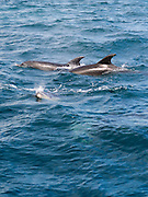 Dolphins swim in the Bay of Islands, Northland, New Zealand.
