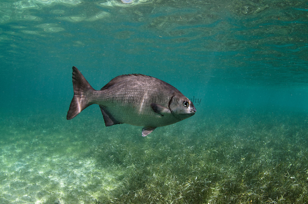 Chub (Kyphosus sectatrix)<br /> Shark Ray Alley<br /> Hol Chan Marine Reserve<br /> near Ambergris Caye and Caye Caulker<br /> Belize<br /> Central America