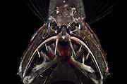 [captive] Common fangtooth (Anoplogaster cornuta), Deep Sea fish (Valenciennes, 1833), portrait,  Ord. Beryciformes, Fam. Anoplogastridae. Ocean Atlantic Ocean close to Cape Verde | Die Zähne des Fangzahnfischs Anoplogaster cornuta sind die – im Verhältnis zum Körper – längsten bei Meeresfischen bekannten. Sie sind so lang, dass die Fische ihr Maul nur schließen können, wenn sie sie in zwei Hohlräumen rechts und links ihres Gehirns verstauen.