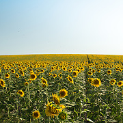 """Sunflowers in El Coronil, near Sevilla Spain.<br /> <br /> For all details about sizes, paper and pricing starting at $85, click """"Add to Cart"""" below."""
