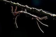 Giant Stick Insect, Phasmida sp., Ranomafana National Park, Madagascar, camouflaged on leaf at night, backlight, silhouette