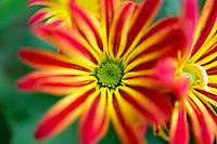 Red and yellow chrysanthemum close up.