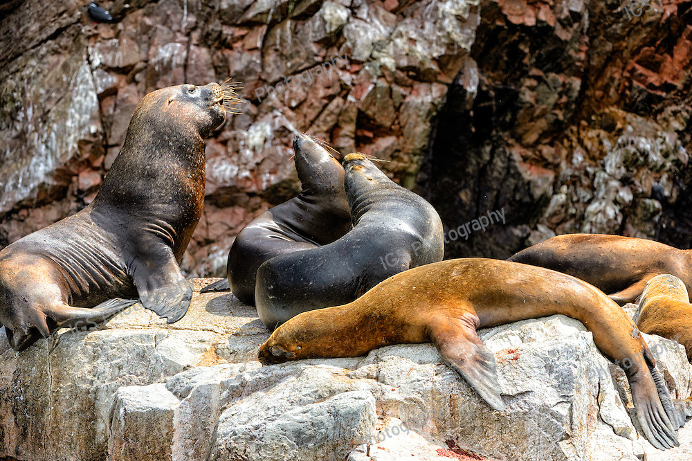 Paracas Nature Reserve, Ballestas Islands (Guano Islands), a shelter for thousands of seabirds and hundreds of sea-lions