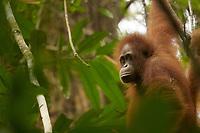 Young female Bornean Orangutan.<br /><br /><br />Walima