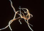 Freshwater Annelid Worm - Lumbriculus variegatus