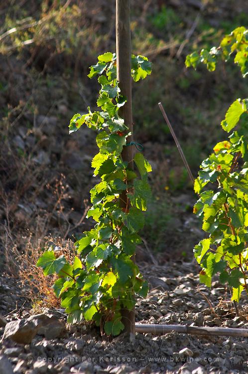 "Vines pruned on stakes, ""echalat"". Llicorella soil. Mas Igneus, Gratallops, Priorato, Catalonia, Spain."