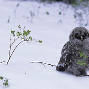 Great Gray Owl, (Strix nebulosa) Fledged chick out of nest. Late spring snowstorm. Montana.