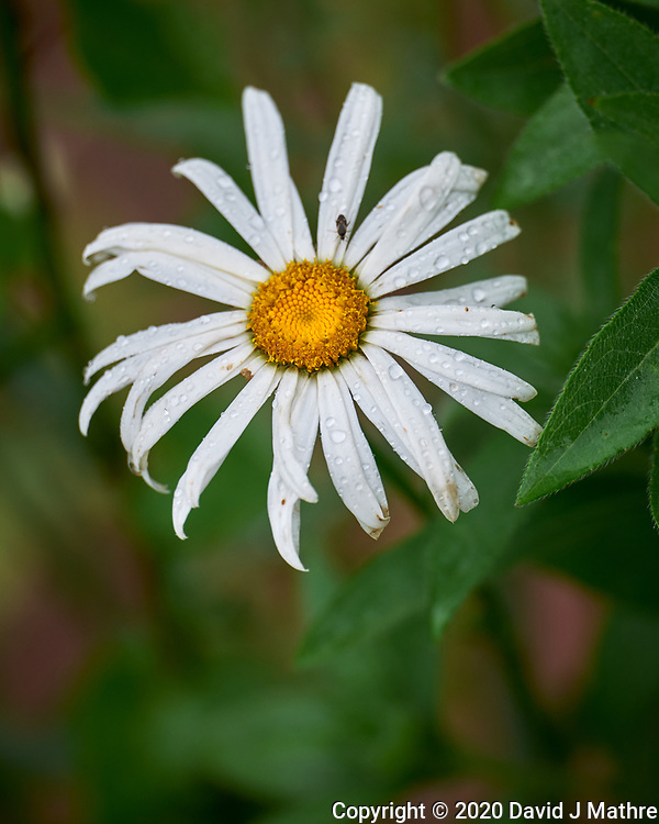 Daisy. Image taken with a Leica SL2 camera and 90-280 mm lens