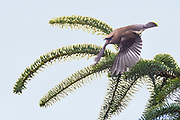 A cedar waxwing (Bombycilla cedrorum) calls as it dives from near the top of a Sitka spruce tree on Spencer Island in Everett, Washington.
