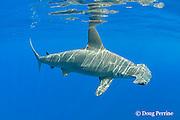 female scalloped hammerhead shark, Sphyrna lewini, with reflection on undersurface of ocean, Keauhou, Kona Coast, Hawaii Island ( the Big Island ), Hawaiian Islands, U.S.A.