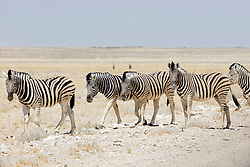 Herd of Zebra at Etosha National Park, Namibia, Africa