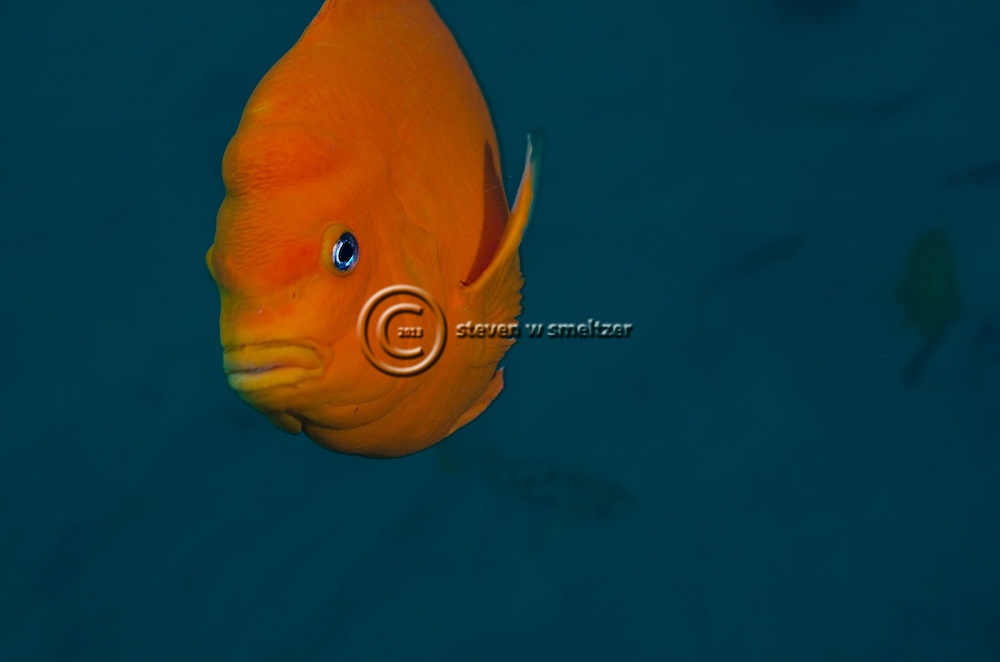 Garibaldi, Hypsypops rubicundus, State Fish of California