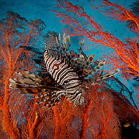A Lionfish hovers in a seafan in a view looking toward the surface of the water.