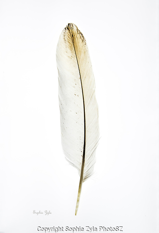 Bald Eagle Tail Feather 2