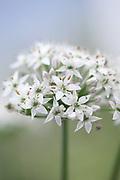 Allium tuberosum - Chinese chives