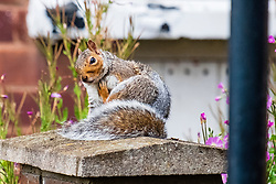 A Grey Squirrel (Scientific name Sciurus Carolinensison) sits on a stone gatepost and grooms during a brief visit to a small Sheffield suburban garden.<br /> <br /> 20 August 2021<br /> <br /> www.pauldaviddrabble.co.uk<br /> All Images Copyright Paul David Drabble - <br /> All rights Reserved - <br /> Moral Rights Asserted -