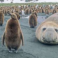 """Young King Penguins called """"Oakum Boys"""" encircle a resting Elephant Seal at a rookery at Gold Harber, South Georgia Island."""