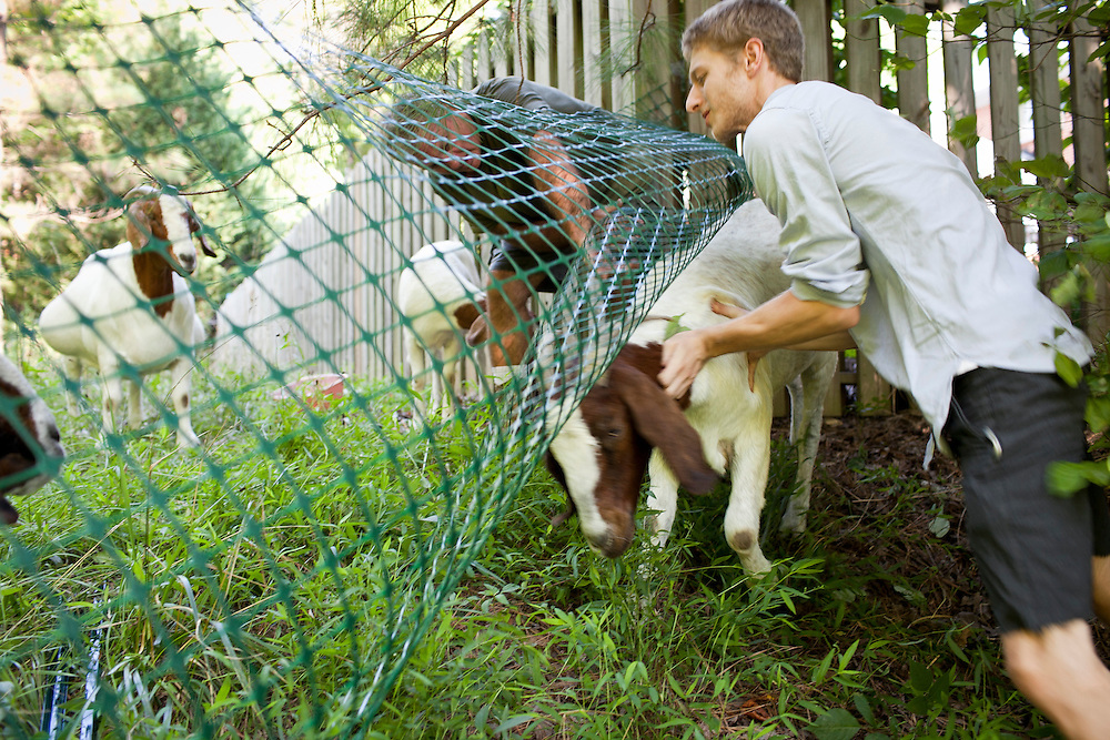 """Farmer Jeff Mullins, left, and Rent-A-Goat Owner Matthew Richmond, right, work together to corral """"Tiny"""" after the goat slipped between the fencing while clearing a lot-side easement in Chapel Hill, N.C., Thurs., July 22, 2010...D.L. Anderson for The Wall Street Journal..GOATS"""