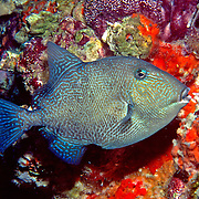Gray Triggerfish inhabit reefs and areas of sand, rubble and seagrass in Tropical West Atlantic; picture taken Gulf of Mexico - Oil Rig.