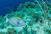 Yellowmask Surgeonfish (Acanthurus mata)<br /> Raja Ampat<br /> West Papua<br /> Indonesia