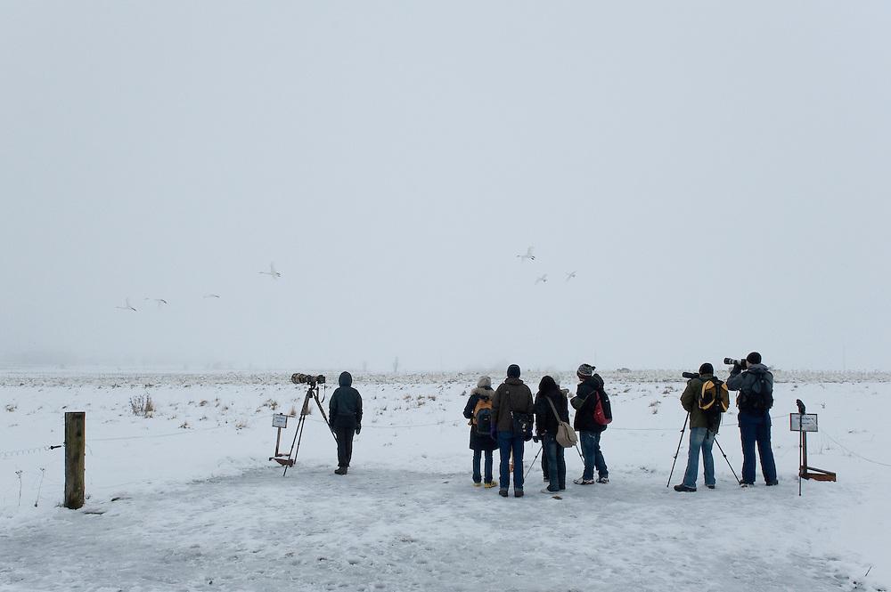 Birdwatchers, Whooper Swan (Cygnus cygnus), Lake Tysslingen, Sweden. March 2009. Mission: Sweden (crane and swan)