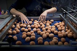 August 8, 2017 - Merksplas, Belgium - Eggs rolling of an assembly line at a chicken farm in Merksplas. Millions of eggs have been pulled from shops in Belgium, the Netherlands and Germany as fipronil was detected in samples. Insecticide fipronil is used to destroy lice and ticks, but it's forbidden for use with animals intended for human consumption. (Credit Image: © Kristof Van Accom/Belga via ZUMA Press)