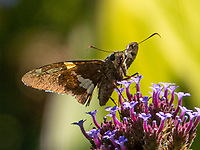 A Silver-spotted Skipper on Purpletop Vervain at the Conservatory Garden in Central Park today Sept. 6, 2021.
