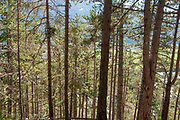 Pine tree forest. Photographed at Zammer Lochputz waterfall and gorge, Tyrol,  Austria