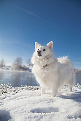 Dog standing at lakeshore in winter, Eichenau, F¸rstenfeldbruck, Bavaria, Germany,