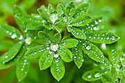 Morning dew on Arctic lupine in the Taku region of northwestern Canada.