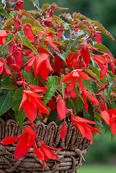 Begonia 'Million Kisses Devotion'