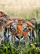 A closeup shot of a Bengal Tiger (Panthera tigris tigris) crouched in the grass looking directly at the camera.