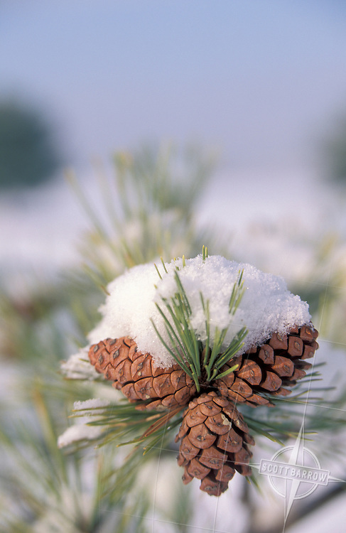 Snow-covered pine tree