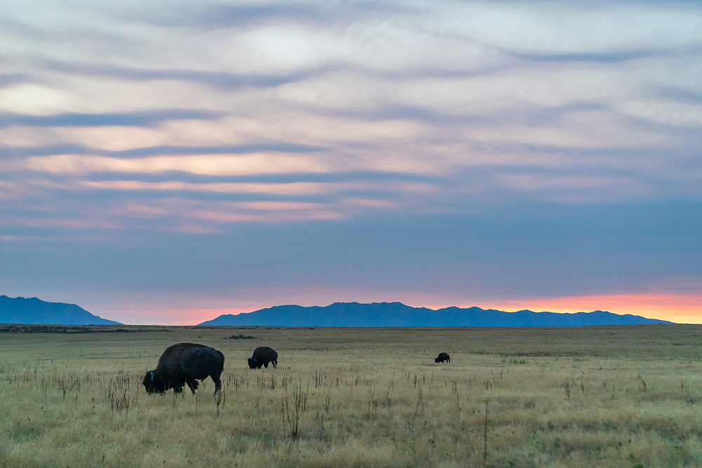 https://Duncan.co/bison-grazing-at-dawn