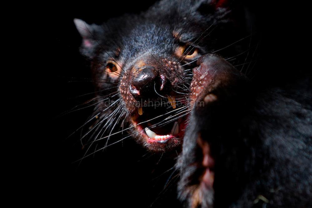 Valentine's Day Massacre: Captive Tasmanian Devils undergoing pre-mating tussles at Tasmanian Devil Conservation Park, near Taranna, Tasmania, Australia.