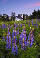 Field of purple lupine in peak bloom with a white steepled church in the background, Sugarhill, New Hampshire