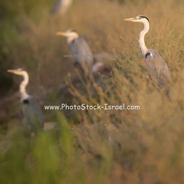 Grey heron (Ardea cinerea) wading in a water pond. This large bird hunts in lakes, rivers and marshes, catching fish or small animals with a darting strike of its head. It is found throughout Africa and Eurasia. Photographed in Israel in July