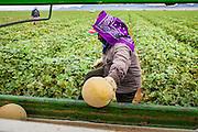 02 OCTOBER 2007 -- A farmworker harvests cantaloupes on a farm about 30 miles west of Buckeye, AZ.  PHOTO BY JACK KURTZ/DIGITAL FILE NO NEGS