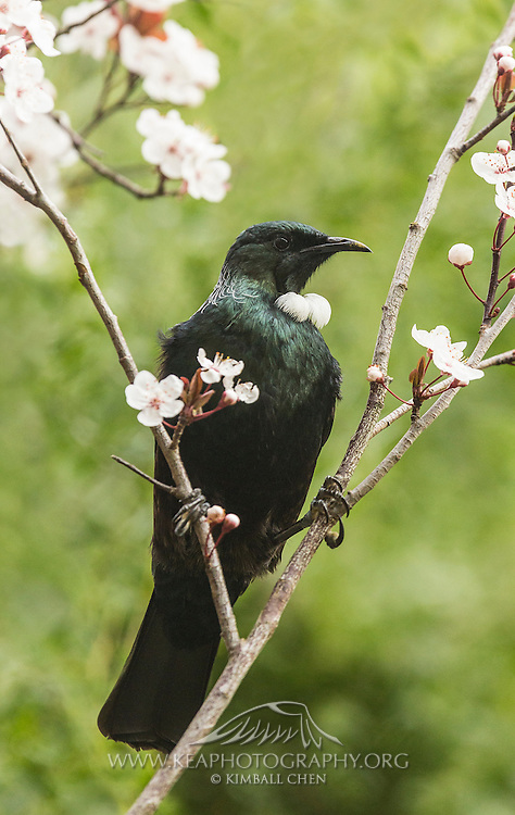 Split-legged tui perched on diverging blossom branches in the spring, Southland, New Zealand.