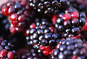 Close up, selective focus photograph of Black Raspberries
