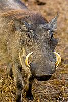 Warthog, Hoedspruit Endangered Species Centre, near Kruger National Park, South Africa
