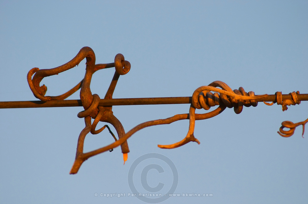 Detail of twigs from the vine that has twirled around the supporting metal wires. Bodega Carlos Pizzorno Winery, Canelon Chico, Canelones, Uruguay, South America